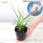 (観葉植物)パンパスグラス(品種おまかせ) 3号(1ポット) 北海道冬季発送不可