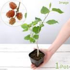 (盆栽)クワの苗(桑) 雌木苗 スイートマルベリー 3.5号(1ポット)
