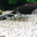 (熱帯魚)コリドラス・パレアタス(3匹) 北海道・