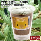 (観葉植物)種まき済み カナリアシード栽培 ECOポット 1ポット