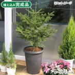 (大型)もみの木 アンティーク調樹脂ポット植え ダークチャコール(1鉢) 植え込み完成品 おまけ付き 別途大型手数料・同梱不可・代引不可