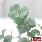 (観葉植物)ユーカリ 銀世界(プルベルレンタ) 3号(1ポット) 家庭菜園