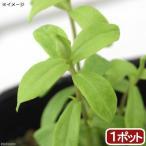 (観葉植物)ハーブ苗 マリーゴールド ミント 3号(1ポット) 家庭菜園
