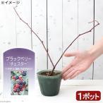 (観葉植物)果樹苗 ブラックベリー チェスター 3号(1ポット) 家庭菜園