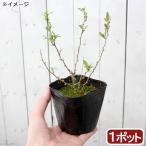 (山野草)盆栽 千成クコ 3号(1ポット)