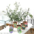 (観葉)果樹苗 オリーブ(品種おまかせ) 4号(1鉢)(品種名のラベル付き) 家庭菜園