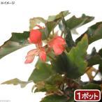 (観葉植物)木立性ベゴニア キャサリンメイヤー 3.5号(1ポット)