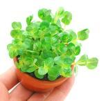 (水草)素焼き鉢 グリーンロタラ(水上葉)(無農薬)(1鉢)