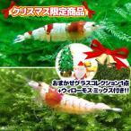 クリスマス限定(エビ 水草)レッドビー 赤白バンド 日のモスセット+ウィローモスミックス(おまけ付き) 北海道航空便要保温