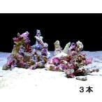 (海水魚)ライブロック セミブランチタイプ Sサイズ(3個)(形状お任せ) 北海道・九州・沖縄航空便要保温