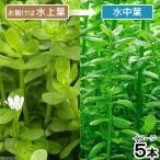 (水草)バコパ モンニエリ(水上葉)(無農薬)(5本) 北海道航空便要保温