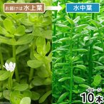 (水草)バコパ モンニエリ(水上葉)(無農薬)(10本) 北海道航空便要保温