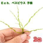 (水草)エキノドルス ベスビウス 子株(無農薬)(2株)