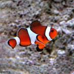 (海水魚)カクレクマノミ(ワイルド)(1匹) 北海道・九州・沖縄航空便要保温