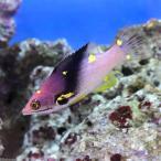 (海水魚)ケサガケベラ(1匹)