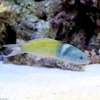 (海水魚)ブルーヘッドラス(1匹)