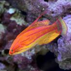 (海水魚)イエローフィンフラッシャーラス(1匹)