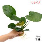 (水草)アヌビアス バルテリー Lサイズ(1株分) 北海道航空便要保温