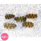 (海水魚 無脊椎)ヒメシャコガイ おまかせカラー ベビーサイズ(ブリード)(1匹) 北海道・九州・沖縄航空便要保温