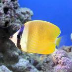 (海水魚)インドミゾレチョウチョウウオ(1匹) 北海道・九州・沖縄航空便要保温