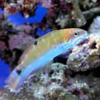 (海水魚)オトメベラ(1匹)