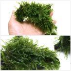 (水草)巻きたて ジャイアント南米ウィローモス 流木 Sサイズ(無農薬)(1本)