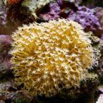 (海水魚 サンゴ)沖縄産 ウミキノコ ロングポリプ SSサイズ(1個) 北海道航空便要保温