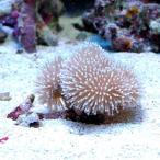 (海水魚 サンゴ)沖縄産 ウミキノコ ロングポリプ コンビ SS-Sサイズ(1個) 北海道・九州航空便要保温