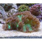 (海水魚 サンゴ)トランペットコーラル グリーン(1個)
