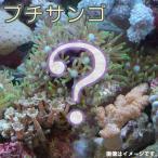 (海水魚 サンゴ)お一人様5点限り おまかせプチサンゴ(ソフトコーラル)(1個) 北海道・九州・沖縄航空便要保温