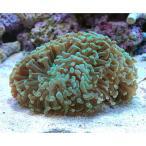 (海水魚 サンゴ)ナガレハナサンゴ グリーン Mサイズ(ワイルド)(1個) 北海道・九州・沖縄航空便要保温