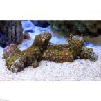 (海水魚 サンゴ)沖縄産 マメスナギンチャク ブランチ おまかせカラー Mサイズ(1個) 北海道・九州・沖縄航空便要保温