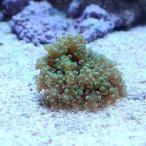 (海水魚 サンゴ)コエダナガレハナサンゴ ブランチ グリーン SSサイズ(1個) 北海道航空便要保温