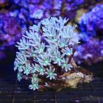 (海水魚 サンゴ)沖縄産 ツツウミヅタ ナローポリプ SSサイズ(1個) 北海道航空便要保温