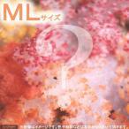 (海水 無脊椎)オオトゲトサカ おまかせカラー MLサイズ(1個) 北海道航空便要保温
