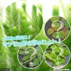(水草)国産 無農薬マツモ(5本) +おまかせ浮き草3種(無農薬)(1株) 北海道航空便要保温
