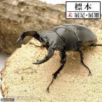(昆虫標本)タランドゥスオオツヤクワガタ コンゴ産(CB) オス単品81mm 標本(未展足)(1匹)