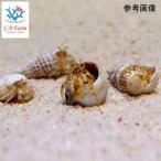 C.P.Farm直送(海水魚 ヤドカリ)ツノヤドカリsp. ベビー 10個体(0.08個口相当)別途送料 海水 クリーナー