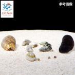 C.P.Farm直送(海水魚 無脊椎)おすすめクリーナーセット マガキガイセット(ナマコ・貝・ヤドカリ) 60cm水槽用(0.56個口相当)別途送料