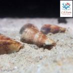 C.P.Farm直送(海水魚 貝)石垣島産 マガキガイ 殻長約3〜4cm 1個体(0.08個口相当)別途送料 海水 クリーナー