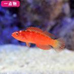 (海水魚)一点物 マグマフェアリーラス No.5 MF-3358(1匹)