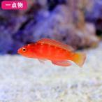 (海水魚)一点物 マグマフェアリーラス No.6 MF-3359(1匹)