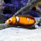 (海水魚)インディアンフォルモーサラス(1匹) 北海道・九州・沖縄航空便要保温