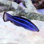 (海水魚)レッドシークリーナーラス(1匹) 北海道・九州・沖縄航空便要保温