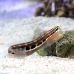 (海水魚)インド洋産 ヒトスジギンポ(1匹)