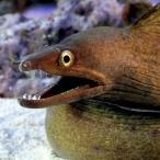 (海水魚)パープルマウスモレイ(1匹) 北海道・九州・沖縄航空便要保温