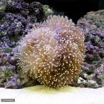 (海水魚 無脊椎)インドネシア産 センジュイソギンチャク ミックス Mサイズ(1匹)