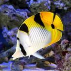 (海水魚)インドスダレチョウチョウウオ Lサイズ(1匹) 北海道・九州・沖縄航空便要保温