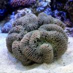 (海水魚 無脊椎)沖縄産 ハタゴイソギンチャク ミックスカラー Lサイズ(1匹)