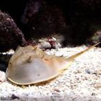 (海水魚 カニ)アメリカカブトガニ Lサイズ(1匹)